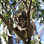 Koala Park Sydney, Australia
